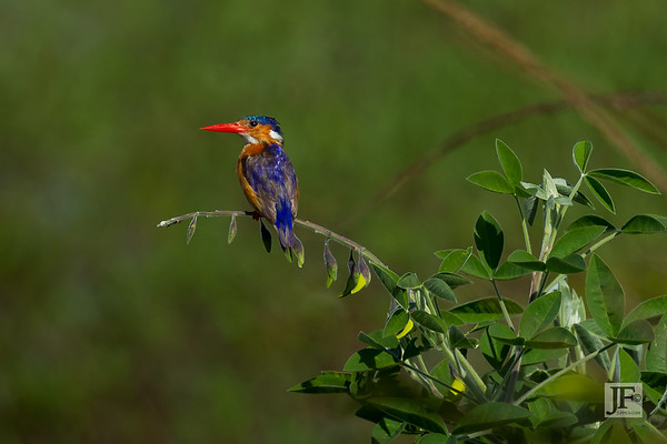 Malachite Kingfishers
