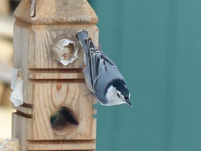 20121231 Backyard Birds