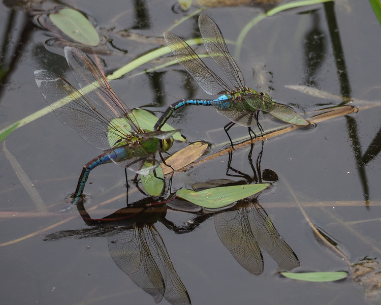 Green Darners - Uncommon blue female form depositing eggs