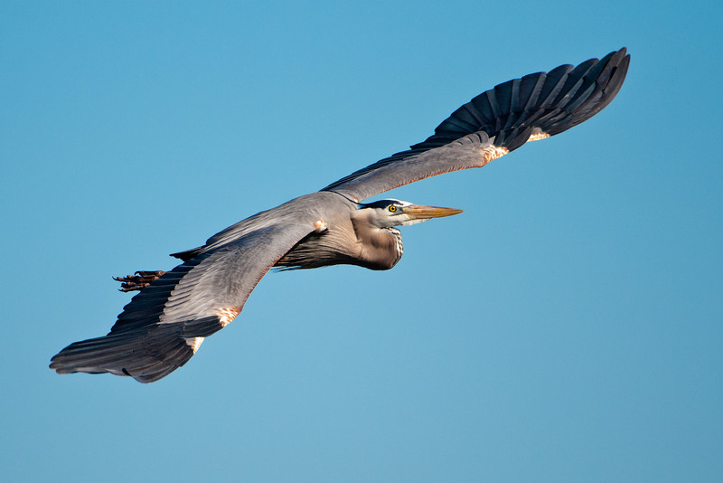 Heron - Great Blue -  Viera Wetlands, FL - 02