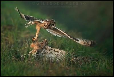 Short Heared Owl - Gufo di palude ( Asio flammeus ) - Italy
