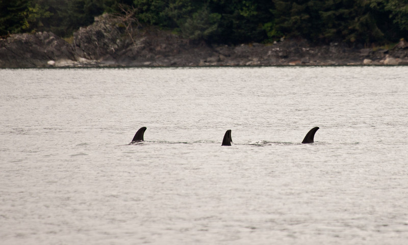 Orca killer whales. There are 4 in the group. They were training the young one the art of killing sea lions.