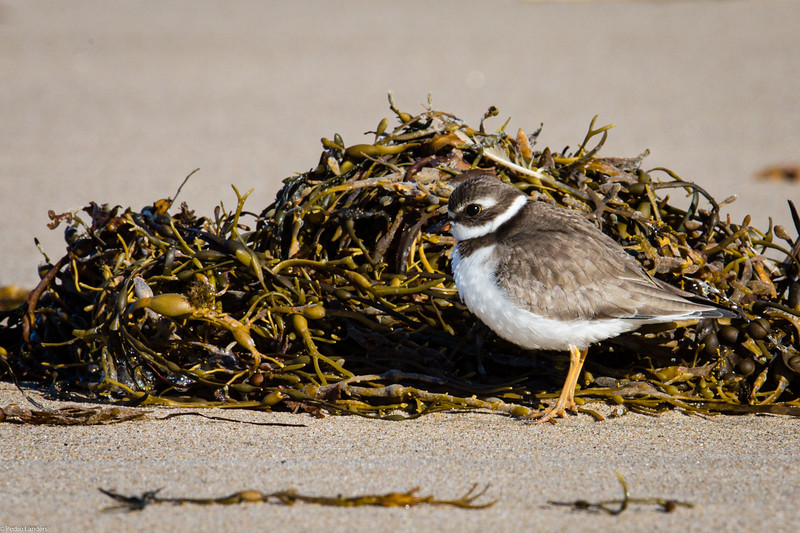 Semipalmated Plover Out of the Wind.jpg