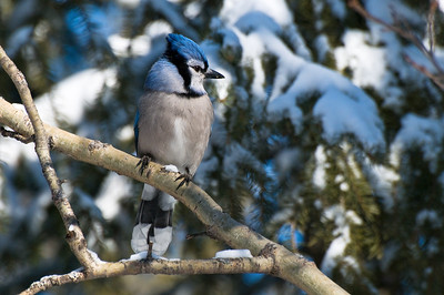 Blue Jay  Taken Feb. 20, 2012 Elk Island Retreat Near Fort Saskatchewan, Alberta