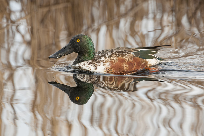 Northern SHoveler Drake Five.jpg