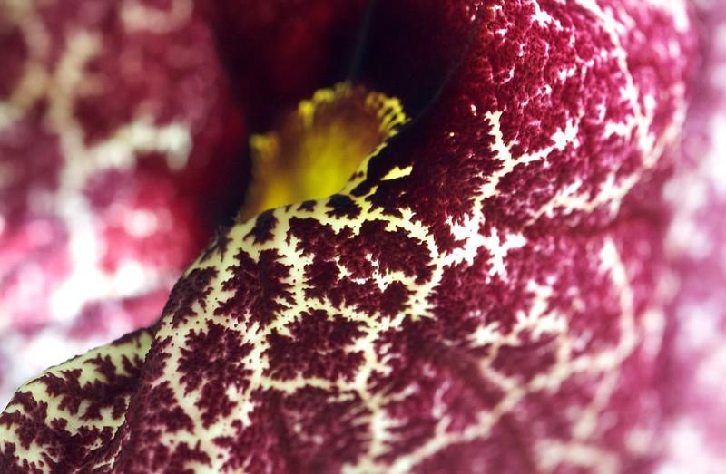 Dutchman's pipe flower