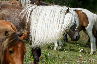 Ponies of Grayson Highlands State Park, VA