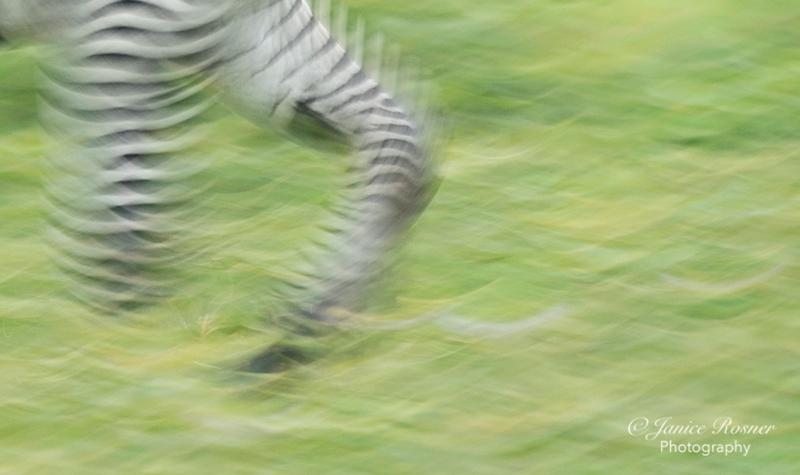 Runnin Zebra