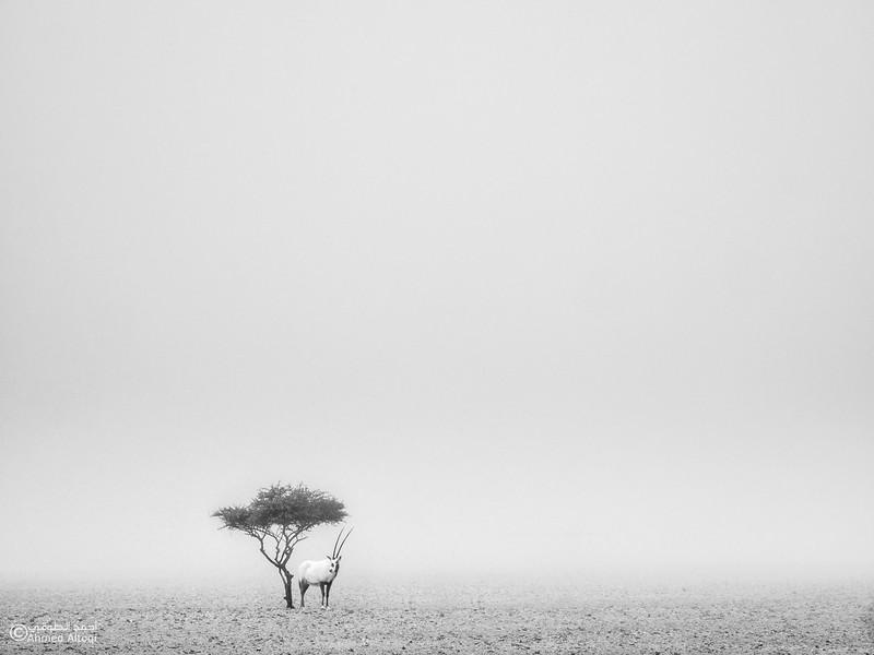 Arabian Oryx (33)- B&W.jpg