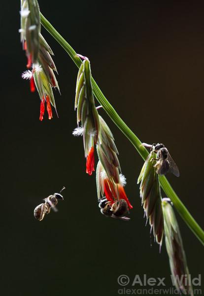 Lasioglossum sp.