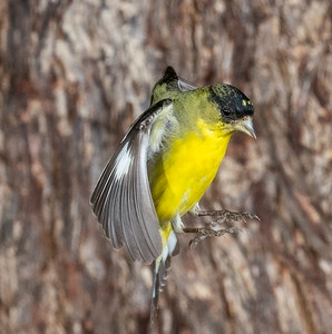 Lesser Goldfinch in Flight