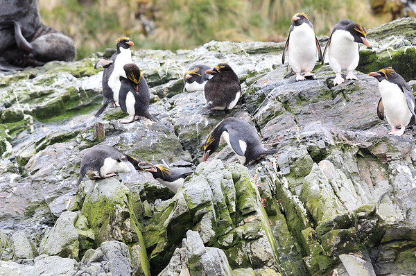 Macaroni Penguins Antarctic 2015
