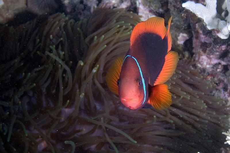 xxTomato Anenome Fish.jpg