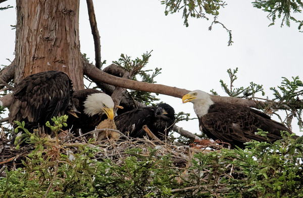 Milpitas Bald eagles 2018