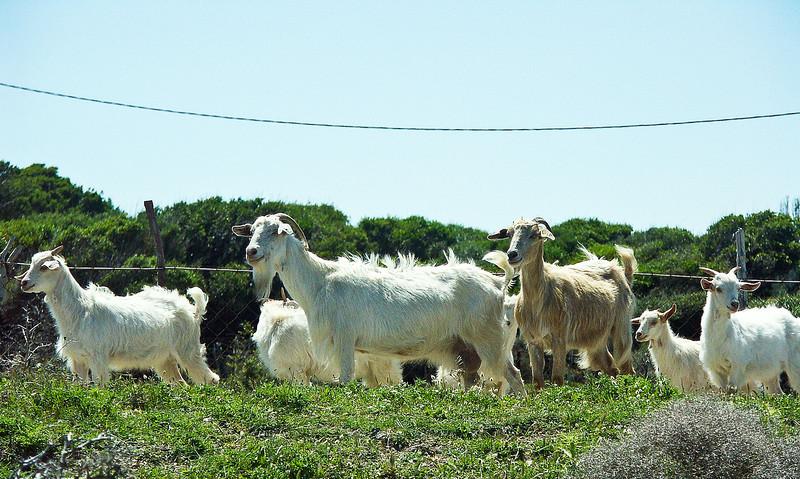 greek-goats.jpg