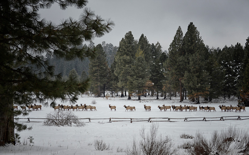 2015-1230_Elk_the-morning-commute_KateThomasKeown_KTK2175.jpg