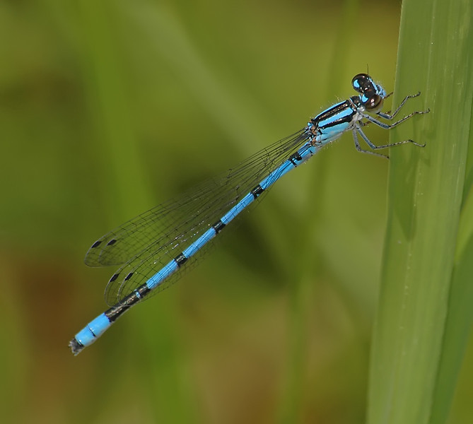 Enallagma hageni (Hagen's Bluet), NC