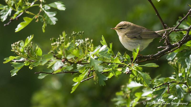 Løvsanger - Phylloscopus trochilus - Willow warbler