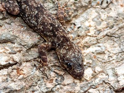 Common Tropical House Gecko (Hemidactylus maboia)