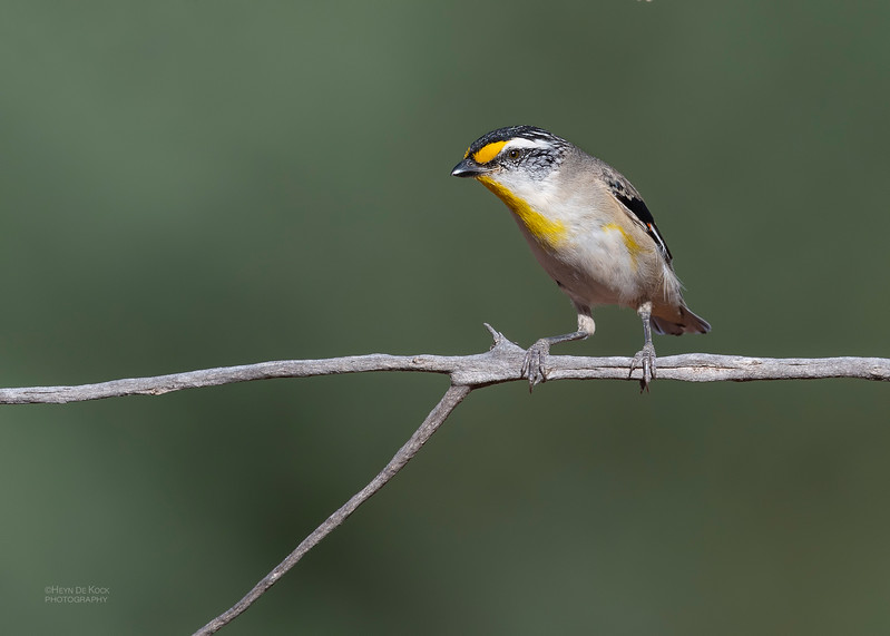 Striated Pardalote, Round Hill NR, NSW, Oct 2018-1.jpg