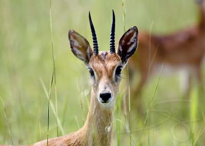 Ugandan Kob. Queen Elizabeth National Park, Uganda.