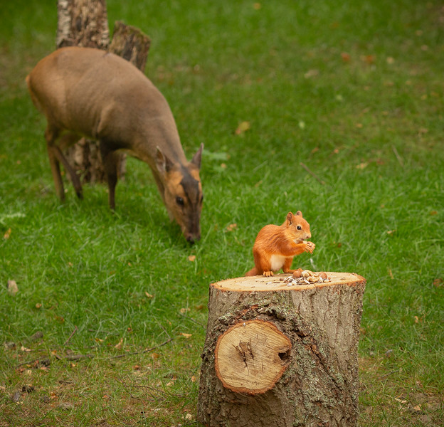2020 - Red Squirrel 006