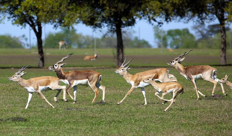It turns out that the Texas Hunt Lodge is raising them to be hunted