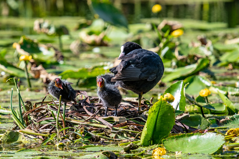 Coote Mother and Chicks doing well