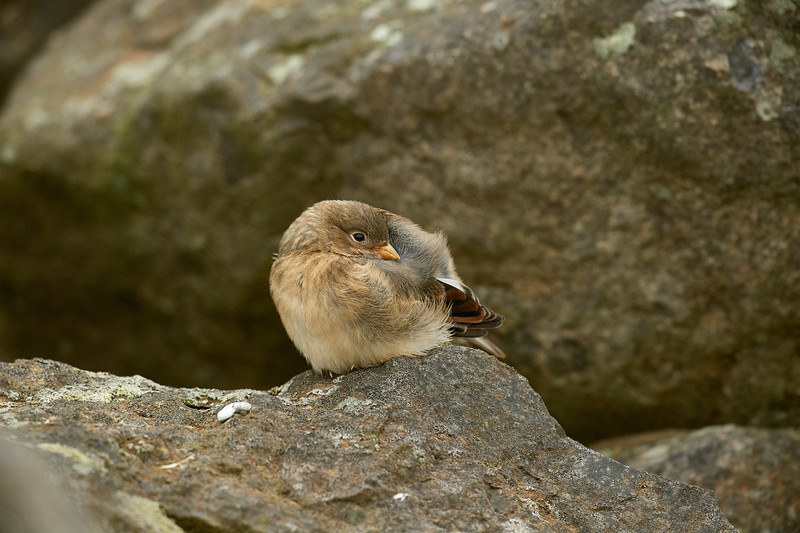 Snow Bunting Fledgling - Grimsey Island, Iceland * Nikon D5, 500mm f/4e AFS, TC-14eIII, f/7.1, 1/1250sec, ISO 2500 * It is such a privilege to shoot a subject that could care less you're standing there.  That was the situation with this young snow bunting.  I sat at one end of this bird's small field of boulders and just let him do whatever he wanted to do.  Which, turned out to be a lot of stuff including being constantly fed by a male snow bunting.  In the midst of this subject jumping around like any youngster, it attempted a micro nap of about 30 seconds.   ____________________ * #Nikon #Nikonphotography #naturephotography #iceland #grimseyisland #bird #birdphotography #snowbunting #fledgling