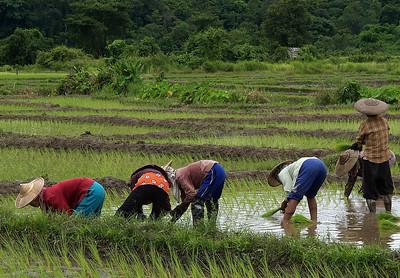 Mae Hong Son Rice Fields