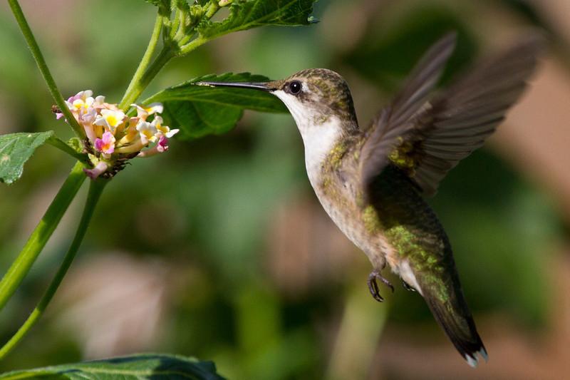 hummingbirdandlantana16.jpg