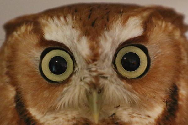 Screech Owl 2016