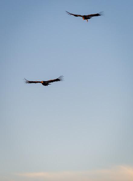 california-condors-portrait.jpg