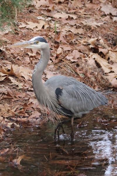 Blue Heron at Duke Gardens