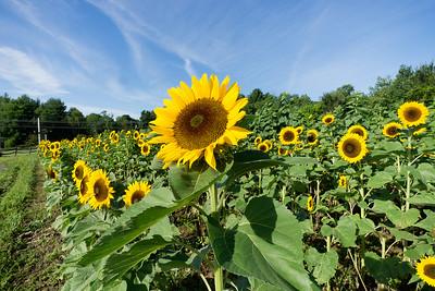 Sunflowers_Aug. 15, 2014