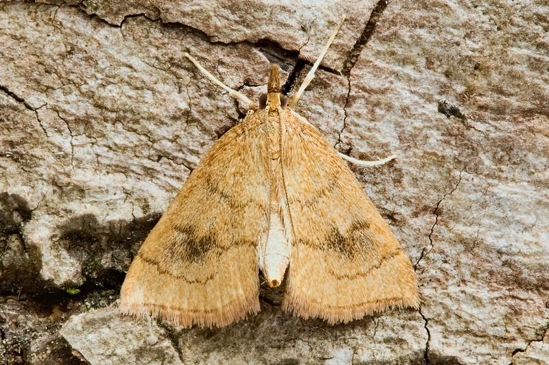 Mint Root Borer Moth