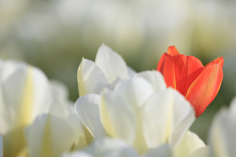 Tulips 08  28.JPG