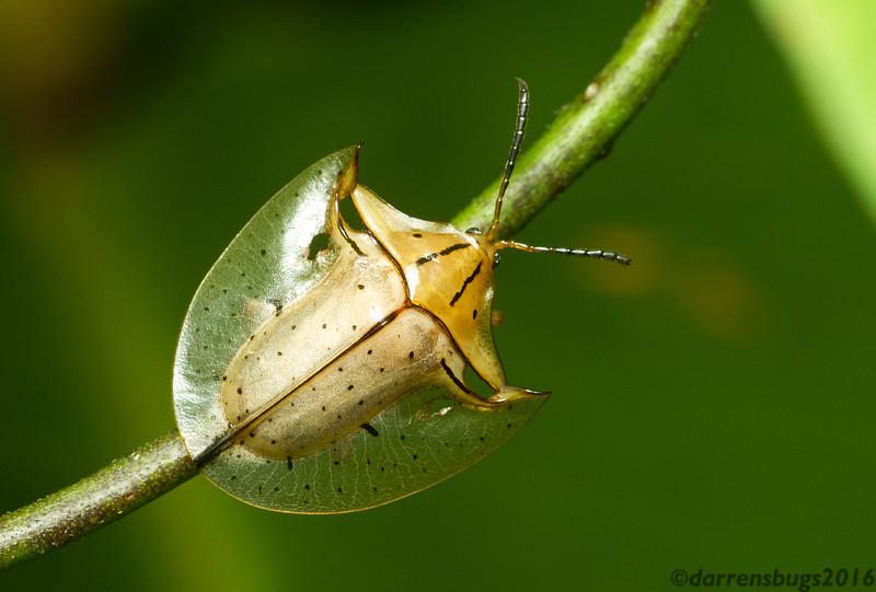 Tortoise beetle, Acromis sparsa, from Panama.