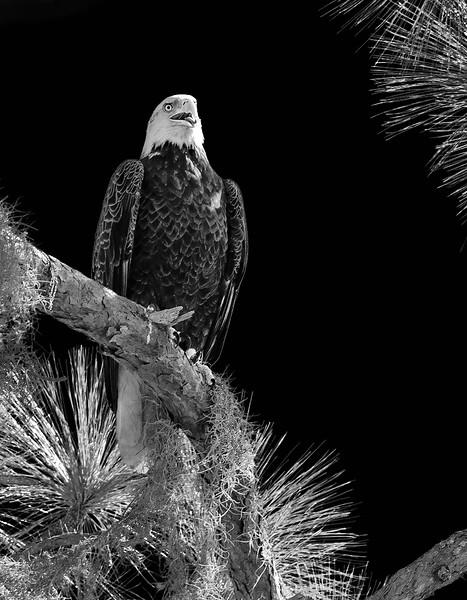 Eagle_DSC9347-copy.jpg