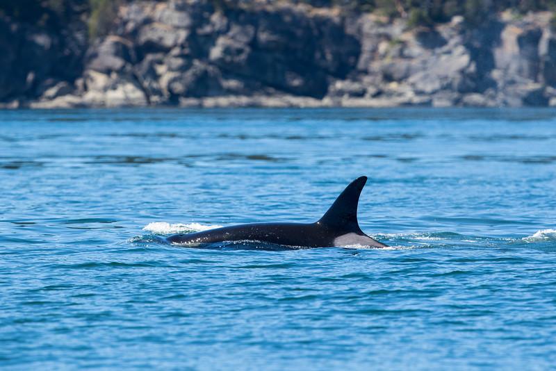 Orcas -  073115-258.jpg