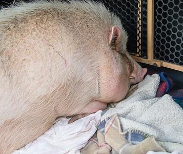 CAPE New Arrival of Pig April 2017