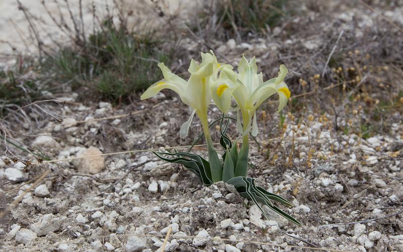 cappadocië, göreme, gomeda valley, iris caucasia