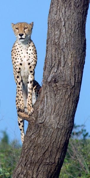 Cheetah, Londolozi