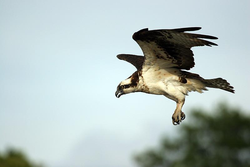 osprey-1_159698649_o.jpg