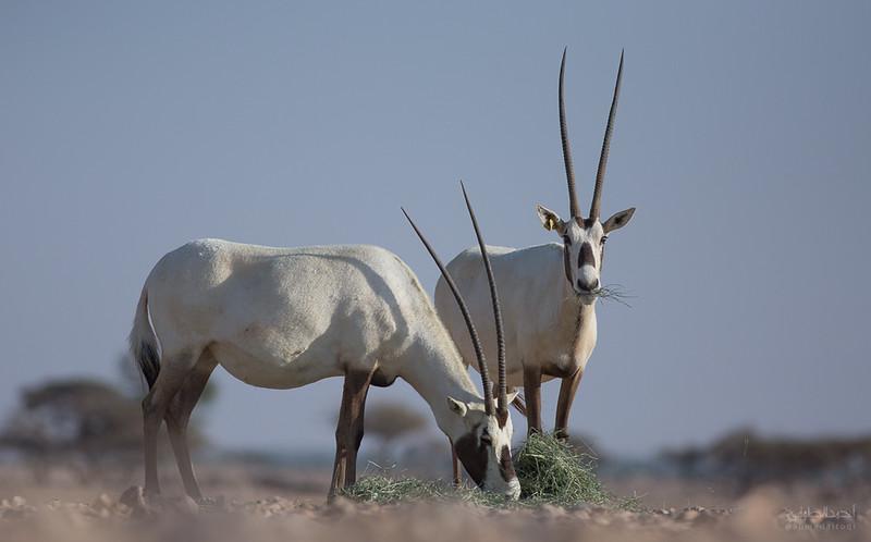 Arabian Oryx (66).jpg