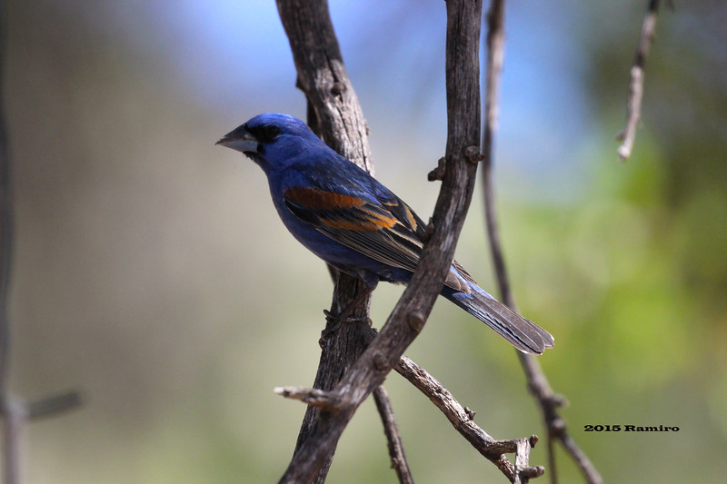 Blue Grosbeak 5-16-15 215.jpg