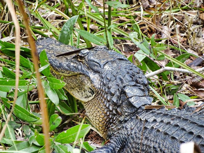 Alligator Tampa, Florida
