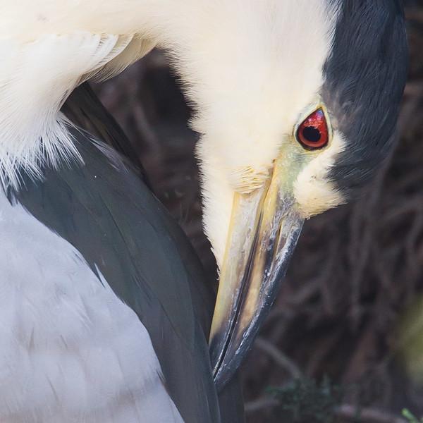 Pt Isabel Black-crowned Night-Heron-4286.jpg