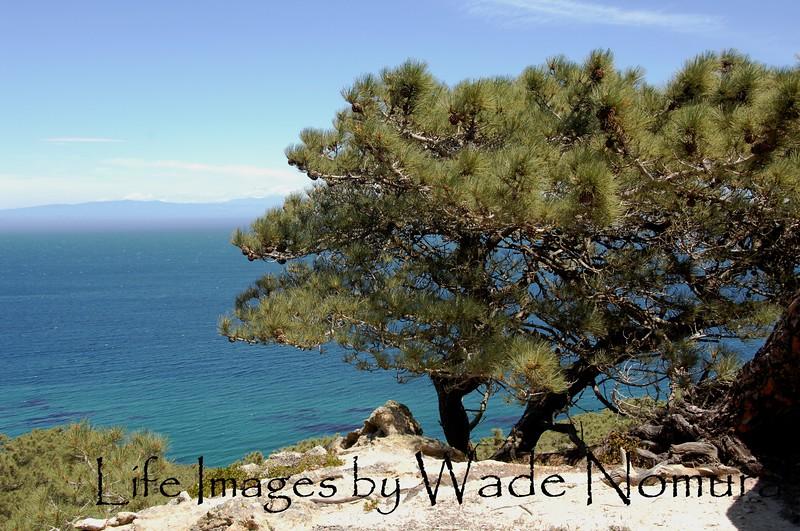 Santa Rosa Island, Torrey Pine