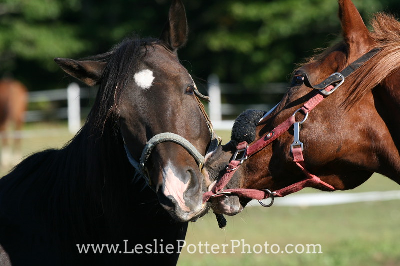 Horses Playing with Halters